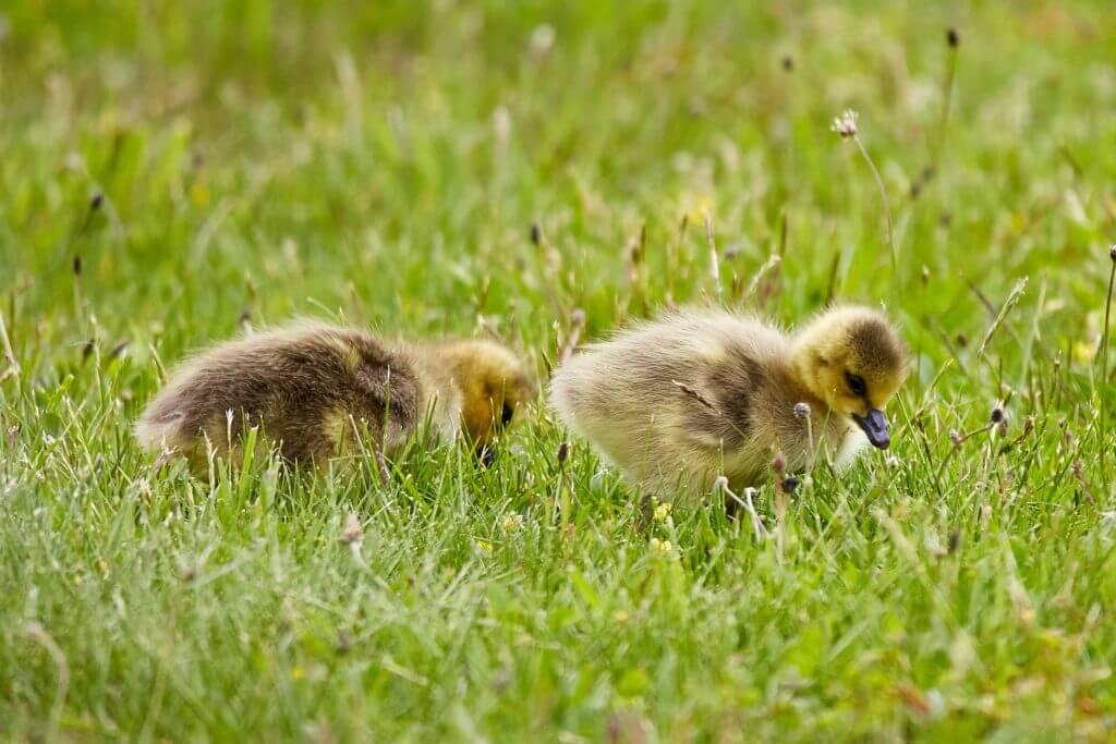 ducklings in grass